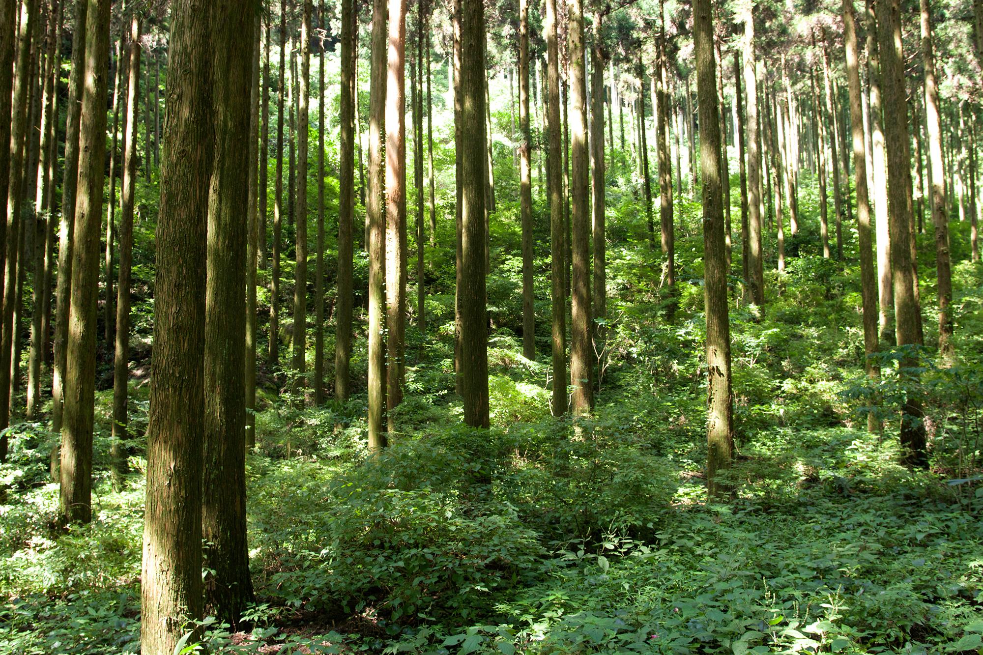 山鹿の山林